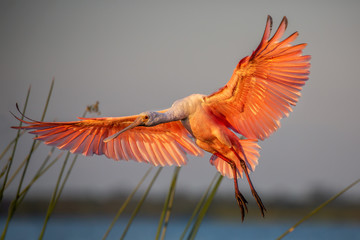 Roseate spoonbill in flight (Platalea ajaja), Florida