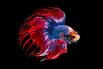 Foto op Plexiglas Vissen The moving moment beautiful of siamese betta fish or fancy splendens fighting fish in thailand on black background. Thailand called Pla-kad or crown tail fish.
