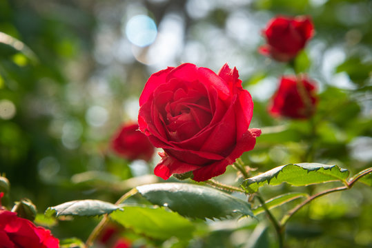 Red rose is in the sunlight in summer morning garden. Background
