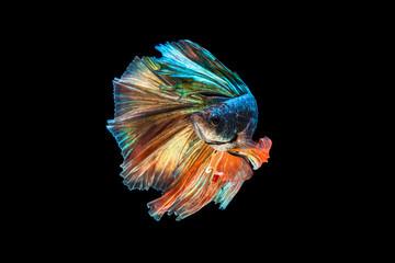 Foto op Plexiglas Vissen The moving moment beautiful of green half moon siamese betta fish or fancy betta splendens fighting fish in thailand on black background. Thailand called Pla-kad or biting fish.