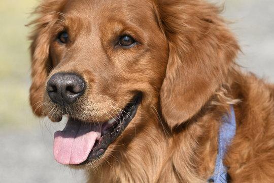 closeup of a dog golden retriever in Yellowstone national park