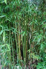 Green bamboo stems.