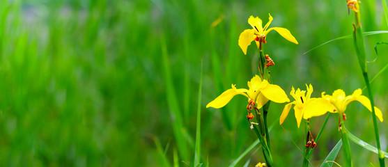 Deurstickers Iris Panorama view of yellow flag iris on green color bokeh background, yellow iris, iris pseudacorus