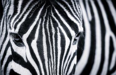 Autocollant pour porte Zebra Detailed black and white closeup of a zebra