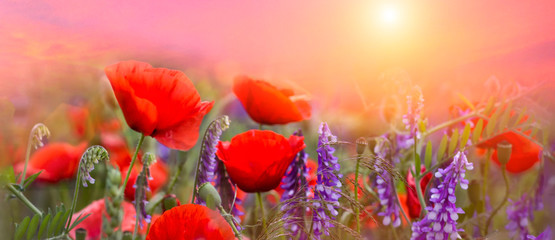 Spring poppies flowers primroses on a beautiful pink background macro. Blurred gentle sky background. Floral nature background, free space for text. Romantic soft gentle artistic image. Panoramic