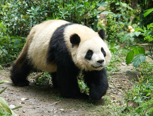 Giant panda walking on the ground in the bush