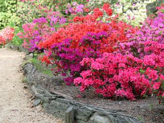 Bunte Azaleen im Garten