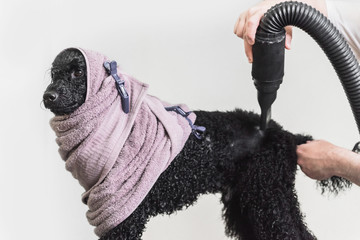 Poodle wrapped in the towel after shower
