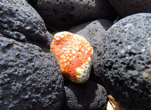 Coral among black rocks near Kalapaki beach, Kauai, Hawaii, USA