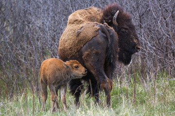 Bison cow and calf, Custer State Park, South Dakota