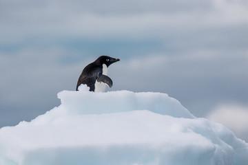 Adelie-Pinguine/ Adélie penguin