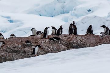 Eselspinguin/Gentoo penguin