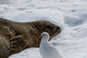 Pelzrobbe/Fur Seal