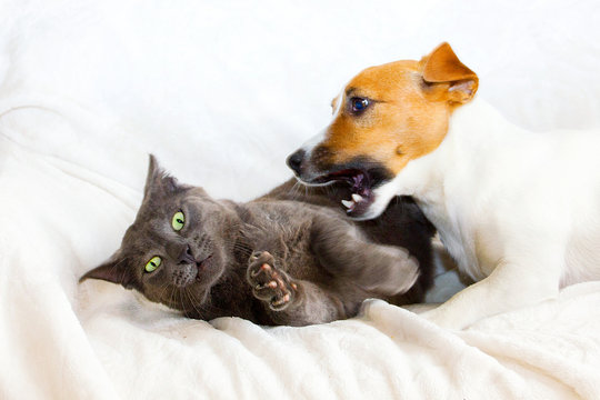 Jack Russell Terrier plays with a gray cat who wants to escape.