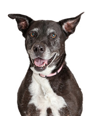 Happy Old Large Dog Closeup