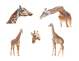 Wall Murals Giraffe 116+ Megapixel Giraffe Variety Collection Isolated on White Background