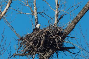 Bald eagle in nest, Loess Bluffs National Wildlife Refuge, Missouri