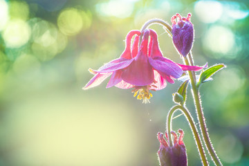 A wild columbine in the early morning in the backlight.