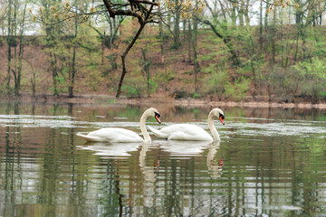Foto op Plexiglas Zwaan swan couple in Spring spotted in Jamaica Plain Boston MA