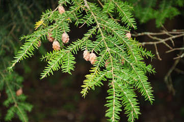 twig of a redwood tree with cones