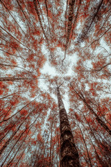 Looking up in a forest (red)