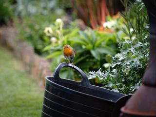 Robin in a garden on bucket handle