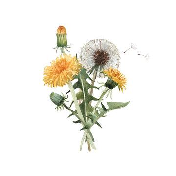 Watercolor dandelion blowball illustration