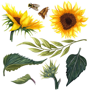 Beautiful floral collection with sunflowers,leaves,branches,fern leaves. Bright watercolor sunflowers clip art set.