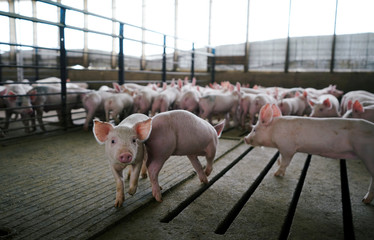 A pen full of young pigs during a tour of a hog farm in Ryan