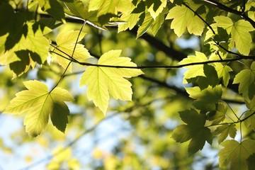 Fototapeta Sycamore maple leaves in the forest obraz