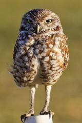 Kaninchen Eule / Burrowing Owl