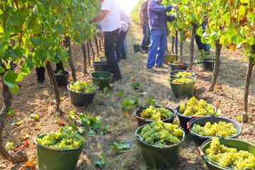 Grape harvest Fototapete