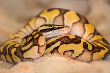 Yellow royal python cub Wall mural