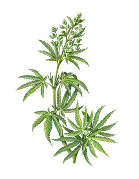 Cannabis Male Plant Pencil Illustration Isolated on White