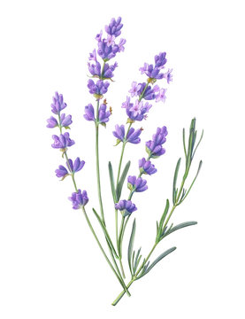Lavender Pencil Illustration Isolated on White