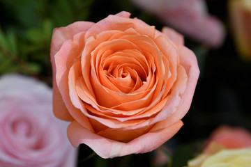 A rose is seen on display at the RHS Chelsea Flower Show at the Royal Hospital Chelsea, London