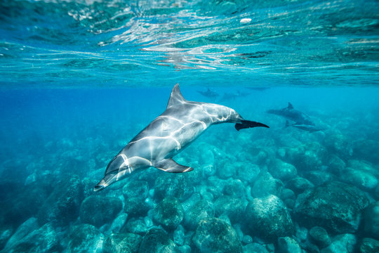 Playful Indo-Pacific Bottlenose dolphin