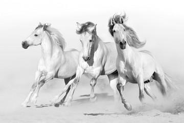 Aluminium Prints Wild West Three white horse run gallop on desert dust. Black and white