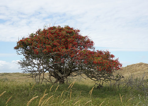 Hawthorn tree with berries at the end of summer
