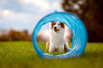 Süßer Hund liegt vor einem Tunnel oder Röhre, Agility und Parcours