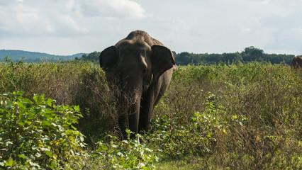 Wild Asian elephant feeding in the grassland in Minneriya National Park, Sri Lanka