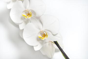 white orchid flower for design on white background