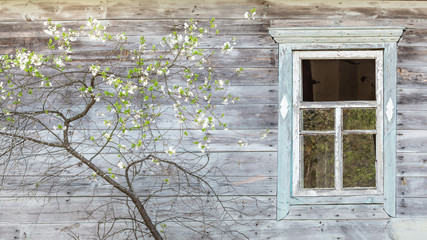 Wooden old abandoned house house with a blooming fruit tree in front. Chernobyl Exlcusion zone, Belarus
