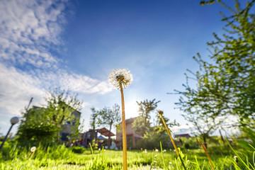 Fototapete - Big fluffy dandelions on green meadow in the garden on blue sky background