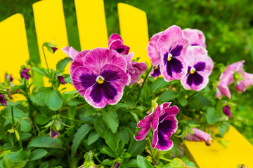 A pot of pretty pansies sitting on an Adirondack chair.