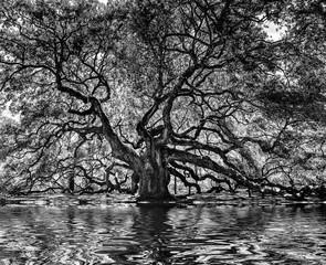 1000 year old angel oak tree, black and white