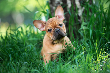 Poster Franse bulldog french bulldog puppy playing in the grass