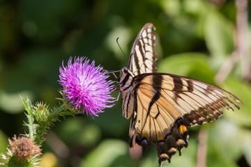 Butterfly, Newton Hills State Park, South Dakota