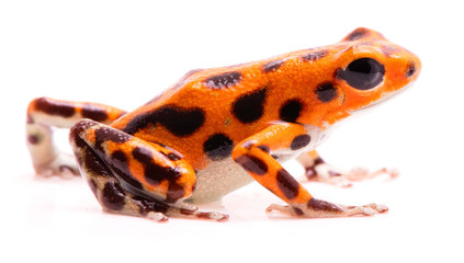 Poison dart frog,. Tropical poisonous orange rain forest animal, Oophaga pumilio isolated on a white background. Wall mural