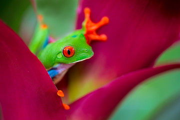 Fotobehang Kikker red eyed tree frog Costa Rica